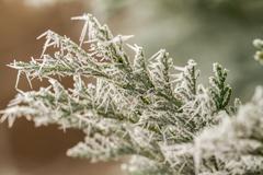hoarfrost on thuja twig - stock photo
