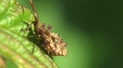 Pentatomidae beetle Shield bugs macro HD - stock footage