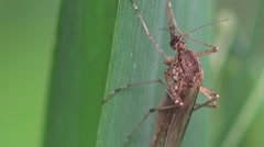 Mosquito sits in green grass insect macro HD Stock Footage