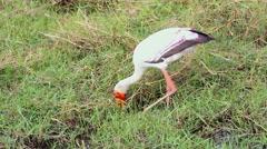 Yellow-billed Stork fishing in Botswana. Stock Footage