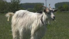 Eating Goat, Kid Looking at Camera, Lambkin, Goatling Grazing on Meadow, Farming - stock footage