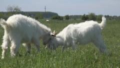 Billy Goats, Kids Playing, Lambkin, Goatling Grazing on Meadow, Farming - stock footage