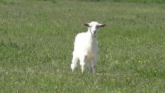 Billy Goat, Kid Looking at Camera, Lambkin, Goatling Grazing on Meadow, Farming Stock Footage