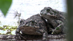 Two toads in their natural habitat Stock Footage