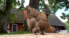 Stock Video Footage of chicken in front of a swedish house