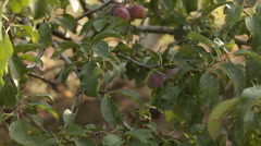 Plum tree in the garden Stock Footage