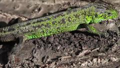 Sand Lizard male passing by, Lacerta agilis Stock Footage
