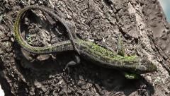 Sand Lizard male sunbathing, Lacerta agilis - stock footage