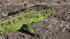 Waken Sand Lizard male, Lacerta agilis Stock Footage
