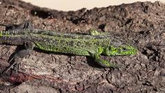 Sand Lizard male charging his energy in the Sun, Lacerta agilis Stock Footage
