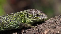 Sand Lizard male looking at the camera, Lacerta agilis - stock footage