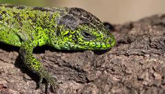 Sand Lizard male, macro, Lacerta agilis Stock Footage