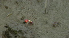 Fiddler crab eating some food at mangrove forest Stock Footage