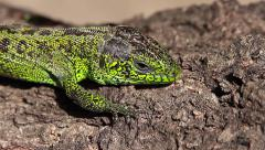 Jumpy Sand Lizard male, Lacerta agilis Stock Footage