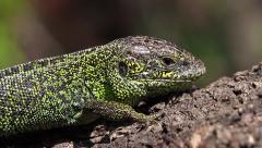Dormant Sand Lizard male, Lacerta agilis - stock footage