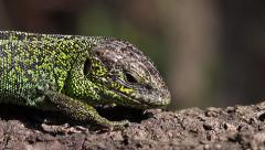 Sand Lizard male looking around, Lacerta agilis - stock footage