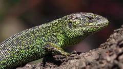 Sand Lizard male, Lacerta agilis - stock footage