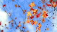 Stock Video Footage of Autumn colorful foliage on a background of blue sky and clouds.