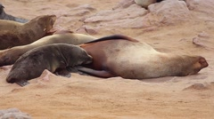 Cape Fur Seal baby nurses on mother's milk as she rolls around sleepily. Stock Footage