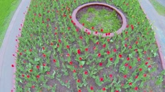 Many red tulips sways on wing at flowerbed. Aerial view Stock Footage