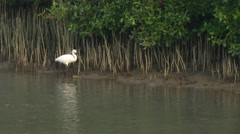 Little Egret walking in mangroves Stock Footage