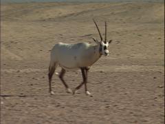 Arabian oryx walking in the Arabian desert Stock Footage