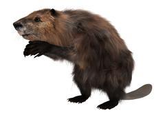 beaver on white - stock illustration