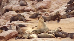 Cape Fur Seal babies huddle in nursery for protection from males. Stock Footage