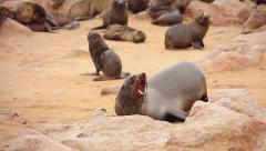 Cape Fur Seal mother calls for baby, scratches itch & shakes on rock. Stock Footage
