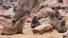 Cape Fur Seals fighting, playing, & relaxing. - stock footage