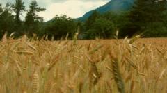 Ear of wheat Stock Footage