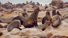 Cape Fur Seals fighting, playing, & nursing. Stock Footage