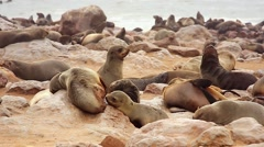 Cape Fur Seals fight for dominance & breeding rights, babies & others relax. - stock footage
