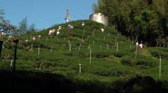Workers pick tea leaves at a plantation. Mount Ali in Taiwan Stock Footage