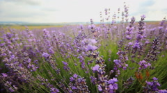 Lavender flowers close-up Stock Footage