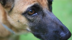 Close up of eye and nose Of german shepherd puppy. HD. 1920x1080 Stock Footage