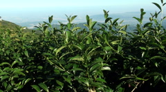 Tea plantation in Mount Ali. Taiwan Stock Footage