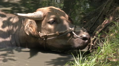 Water buffalo grazing at a watering hole Stock Footage