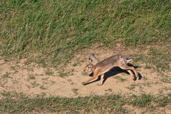 european brown hare - stock photo