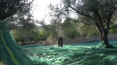 Olive Harvesting Stock Footage