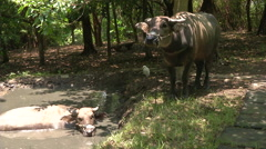 Water buffalo and egret at a low-lying ground Stock Footage