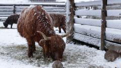 Highland cattle feeding on grass in snow weather Stock Footage