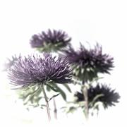 purple asters - stock photo