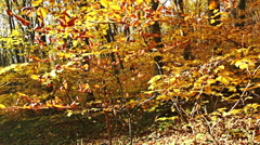 Autumn forest trees with colorful yellow leafs. - stock footage