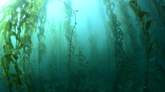 Healthy thick kelp forest Stock Footage