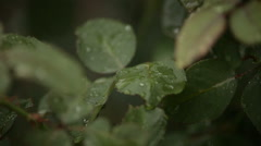 red rose in the garden during irrigation - stock footage