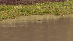 4K UHD 60fps - American alligator (Alligator mississippiensis) peaking head out Stock Footage