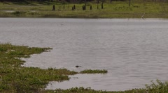 4K UHD 60fps - American alligator (Alligator mississippiensis) in marsh Stock Footage