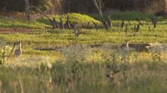 4K UHD 60fps - White-Tailed Deer (Odocoileus virginianus) walking towards viewer - stock footage