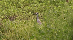 4K UHD 60fps - Yellow-Crowned Night Heron (Nyctanassa violacea) yawning Stock Footage